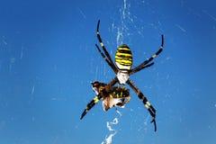 Araignée de guêpe - bruennichi d'Argiope Photo libre de droits
