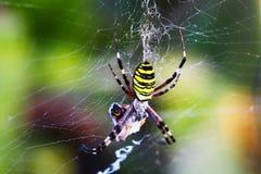Araignée de guêpe - bruennichi d'Argiope Photographie stock libre de droits