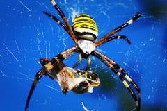 Araignée de guêpe - bruennichi d'Argiope Photos libres de droits