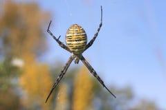 Araignée de jardin réunie (trifasciata d'Argiope) Photo libre de droits