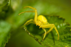Araignée jaune de crabe Photos stock