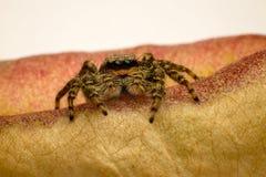 Araignée sur la boîte de graine Photo stock