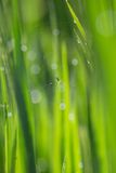 Araignée sur le gisement de riz Images libres de droits