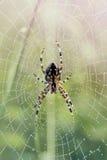 Araignée sur le Web couvert de rosée Photo stock