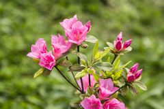 Araleas in spring Stock Photography