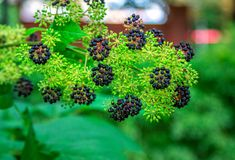 Aralia continentalis Manchurian tree branch. With small green and black berries Stock Image
