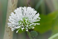Aralia Cordata. White Japanese spikenard Royalty Free Stock Image