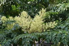 Aralia elata. Can eat sprouts Royalty Free Stock Photography