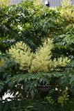 Aralia elata. Can eat sprouts Stock Photography
