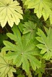 aralia papirifera φύλλων λεπτομερειών aral Στοκ φωτογραφίες με δικαίωμα ελεύθερης χρήσης
