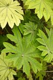 Aralia papirifera leaves details Araliaceae from C Royalty Free Stock Photos