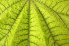 Aralia papirifera macro leaf detail Araliaceae. From China, texture Royalty Free Stock Photography
