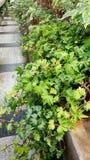 Araliaceae στο βοτανικό κήπο της Sofia κοινός κισσός Στοκ φωτογραφίες με δικαίωμα ελεύθερης χρήσης