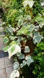 Araliaceae στο βοτανικό κήπο της Sofia κοινός κισσός Στοκ εικόνα με δικαίωμα ελεύθερης χρήσης