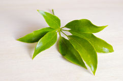 Araliaceae leaf isolated on wooden board Royalty Free Stock Images