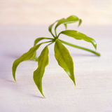 Araliaceae leaf isolated on wooden board Stock Photography