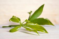Araliaceae leaf  on wooden board Stock Photos