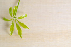 Araliaceae liść na drewnianej desce z pustym tekst kopii sp Fotografia Royalty Free