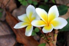 Araliya blommor arkivfoto