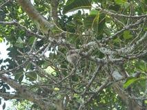 Araliya träd Arkivbilder