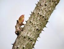 Araliya wysoki (Mandżurski) (aralii elata (Miq ) Wydaje się ), szkotowy cynaderki na drzewnym bagażniku Fotografia Royalty Free
