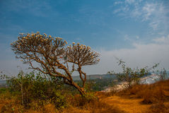 Arambol beach, Goa state, India. Frangipani flower. Plumeria. Beauty Arambol beach landscape, Goa state India Royalty Free Stock Photography