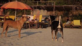 Arambol, India - February 2020. Angry dogs growl and bark at each other.