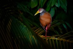 Aramides cajaneus - Grey-necked Wood-rail  bird in the family Rallidae, the rails. It lives primarily in the forests, mangroves,. And swamps of Central and royalty free stock photos