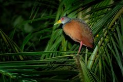 Aramides cajaneus - Grey-necked Wood-rail  bird in the family Rallidae, the rails. It lives primarily in the forests, mangroves,. And swamps of Central and stock photography