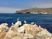 Aramoana seagulls. Royal Albatross center at the end of Dunedin Peninsular as the background in the picture Stock Image