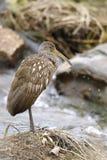 Aramus guarauna, limpkin. Standing at stream Royalty Free Stock Photo