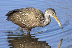 Aramus guarauna, limpkin Royalty Free Stock Photo