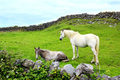 Aran island horses, Ireland. Two beautiful horses, resting on the grass on the side of the green hill between two traditional stone walls in Aran island, Ireland Stock Images