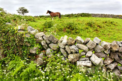 Aran island, Ireland. Irish countryside with typical stone wall in the middle of the greenery and horse on the horizon, in Aran island, Ireland Stock Photos
