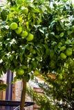 Arance acerbe sull'albero immagini stock libere da diritti