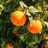 Arance amare che crescono sull'albero Fotografia Stock