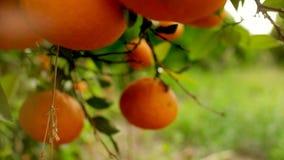 Arance che appendono sulla fine del frutteto di frutta dei rami su Fondo arancio dell'albero da frutto archivi video