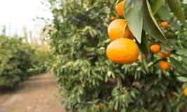 Arance crude della frutta dell'alimento che maturano il boschetto dell'arancia dell'azienda agricola di agricoltura Fotografia Stock Libera da Diritti