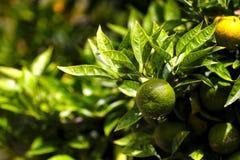 Arance di maturazione attraverso fogliame verde Fotografia Stock Libera da Diritti