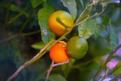 Arance di maturazione sull'albero, lotti dei frutti Immagini Stock
