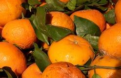 Arance, arance fresche del fondo dell'alimento con le foglie verdi, strappate appena dall'albero Fotografia Stock