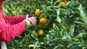 Arance fresche sull'albero di agrume nel giardino stock footage