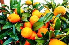 Arance fresche sulla pianta Fotografia Stock Libera da Diritti