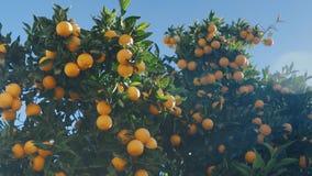 Arance mature succose sui rami di un arancio in tempo soleggiato caldo video d archivio