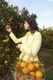 Aranci di raccolto della donna Fotografia Stock