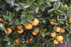 Aranci su un albero Fotografia Stock Libera da Diritti
