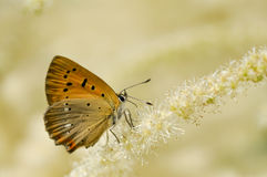 Arancia buuterfly 3 Fotografie Stock