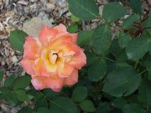 Arancia con il centro giallo Rosa Fotografia Stock