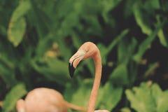 Arancia del fenicottero sul fondo della pianta tropicale di verde della natura - annata caraibica di tono del fenicottero fotografia stock libera da diritti
