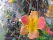 Arancia del fiore Immagini Stock